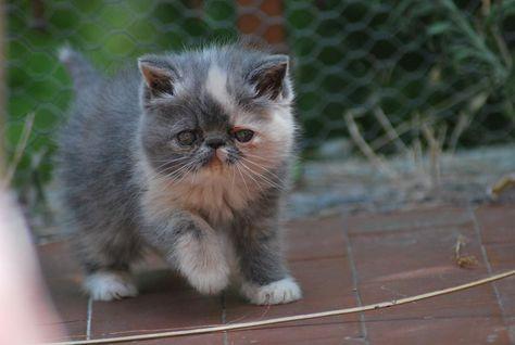 Allevamento Shirin Gatti Persiani Ed Esotici Cat Pers Exotic