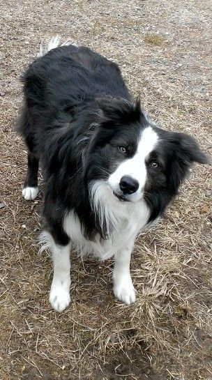 Looks So Much Like My Murphy Boy Collie Dog Animals Dogs Puppies