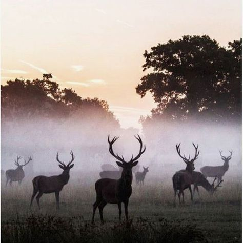 We 💕 this moment from of Windsor Great Park. Adjacent to the long walk, a herd Red Deer call the park home. Make sure to keep an eye out for the Lorn Horn Cattle who also roam between the native oaks.