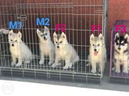 Siberian Husky View All Ads Available In The Philippines Olx