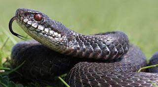 تفسير رؤية الأفعى في المنام Snake