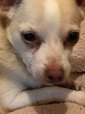 Adopt Bruce On Chihuahua Chihuahua Dogs Animals