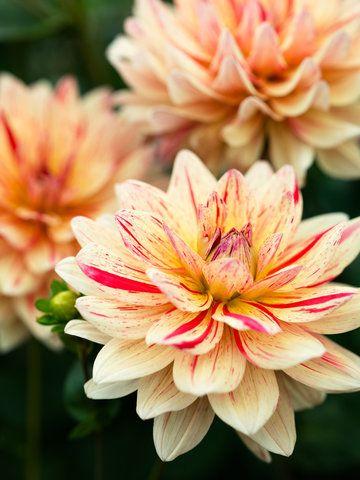 Drool Worthy Dahlia Varieties For Every Garden And Bouquet Sunset Flower Garden Design Dahlia Beautiful Flowers