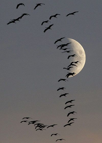 Beautifully composed by Pawel Kopczynski   A flock of migrating cranes fly in front of the moon in Linum near Berlin, Germany.