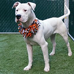 Brooklyn Ny Dogo Argentino Meet Ranger A Dog For Adoption Kitten Adoption Nyc Dogs Dog Adoption