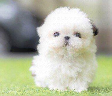 Quality Teacup Shih Tzu Puppies For Sale Shihtzu Shih Tzu Puppy