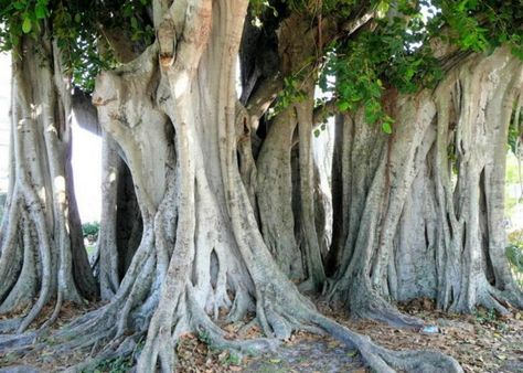 Old multi-trunked Banyan near Gilchrist Park in Punta Gorda, Florida. This Banyan tree is over 100 years old.