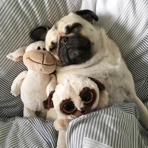 The 36 Funniest Pug Sleeping Positions Malyunki