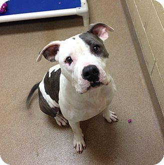 Pin By Aaron Toth On Best Puppies Ever Pitbull Terrier Dog