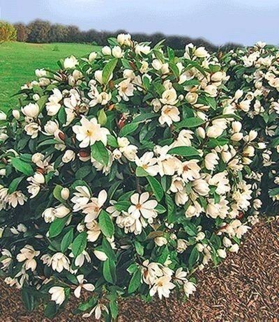 Duft Magnolien Hecke Fairy Von Baldur Garten Auf In 2020 Straucher Garten Immergruner Garten Schoner Blumengarten