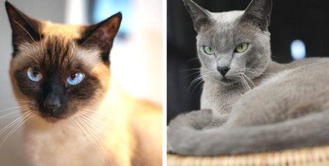 Diese 11 Katzenrassen Eignen Sich Hervorragend Fur Allergiker In 2020 Katzenrassen Katzen Rassen Katzen