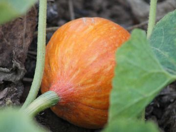 Indianer Beet In 2020 Kurbis Pflanzen Mischkultur Pflanzen