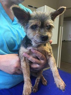 New York Ny Senior Yorkie Yorkshire Terrier Meet Sylvia A Dog