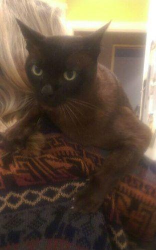 Findlenny Lost Elderly Brown Burmese Cat Roseville Sydney