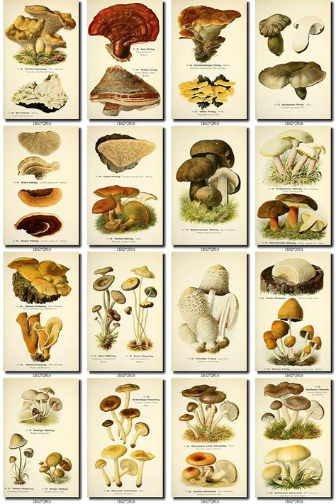 Collection of 205 vintage images High resolution Poisonous Mushrooms, Edible Mushrooms, Growing Mushrooms, Wild Mushrooms, Stuffed Mushrooms, Mushroom Identification, Leaf Identification, Mushroom Species, Mushroom Fungi