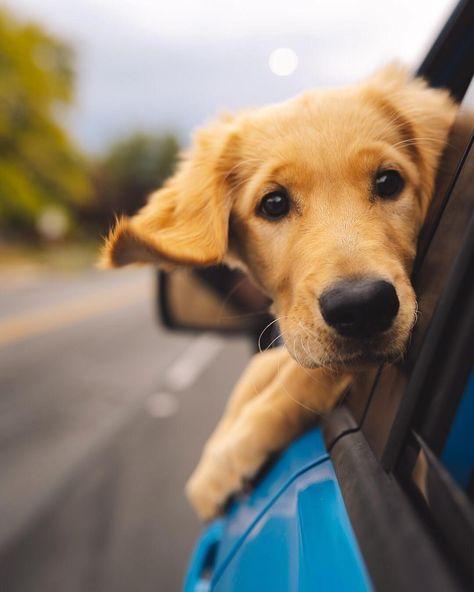 Artist Golden Retriever Dogs Retriever Puppy