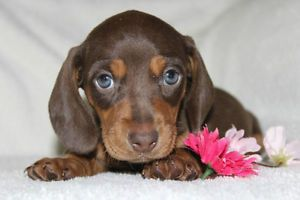 Miniature Dachshund Puppies Dogs Puppies For Sale Calgary
