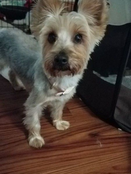 Yorkshire Terrier Dog For Adoption In Omaha Nebraska Yorkie