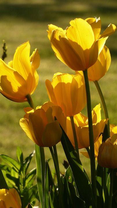 Gratis Obraz Na Pixabay Tulipany Bukiet Tulipan Zolty Pretty Landscapes Flowers Tulips