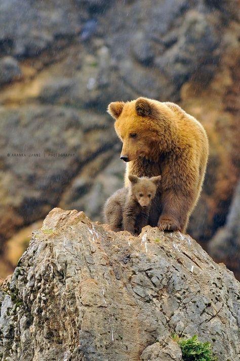 Brown bears. #animals #bears
