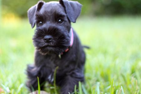 First Day Home A Black Mini Schnauzer Puppy 8 Weeks Old And Just