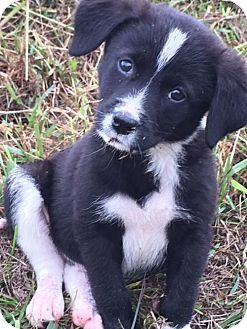 Nashville Tn Border Collie Mix Meet Lala A Puppy For Adoption