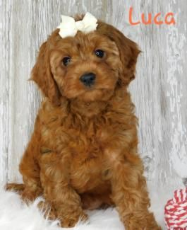 Cavapoo Puppies For Sale In 2020 Cavapoo Puppies Cavapoo Puppies For Sale Lancaster Puppies