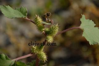 P نبات الحسك يعتبر من الفصيلة البقولية ويسمى بعدة اسماء منها حماض الاسد وعرمط والكرمة الثاقبة وحمص الامير واضراس العجوز والقطبة والشق Plants Flowers Dandelion