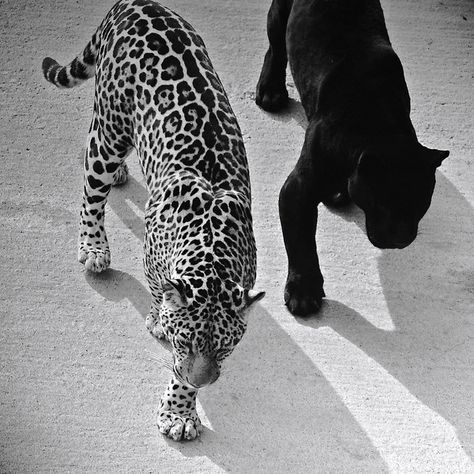 Leopards and cheetahs and cougars oh my! Gray Aesthetic, Black And White Aesthetic, Black And White Picture Wall, Black And White Pictures, Beautiful Creatures, Animals Beautiful, Cute Animals, Beautiful Cats, Wild Animals