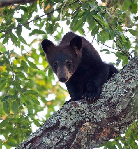 Cades Cove Bear Cub