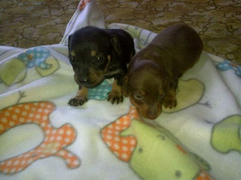 Brown And Black And Tan Dachshund Puppies For Sale Meyerton