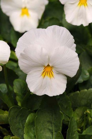 Cool Wave White Pansy Primed Pansies Flowers Winter Pansies Pansies