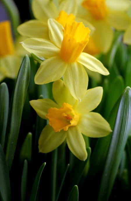 Pin By صورة و كلمة On ورد و زهر Flowers Daffodil Flower Spring Flowers Beautiful Flowers Garden