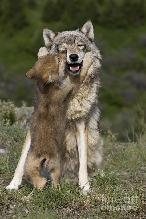 Gray Wolf Photograph - Wolf Cub Begging For Food by Jean-Louis Klein & Marie-Luce Hubert