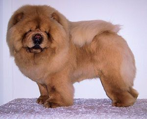 Chow Chow Welpen Tapete Chow Tapete Welpen Chow Chow Dogs