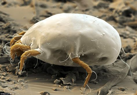 House-dust mite: Feeding on human skin and crumbs of food, up to 10million can live in one mattress. The 0.4mm-long females live up to 70 da...