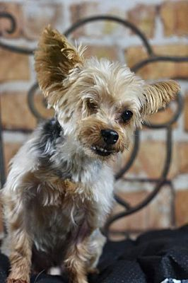 Fort Worth Tx Yorkie Yorkshire Terrier Meet Achoo A Pet For Adoption In 2020 Yorkshire Terrier Yorkie Yorkshire Terrier Yorkie