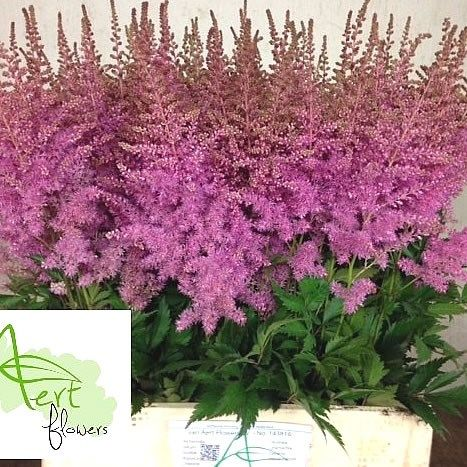 Pin By Catherine Therien On Plants Goats Beard Astilbe Shade Plants