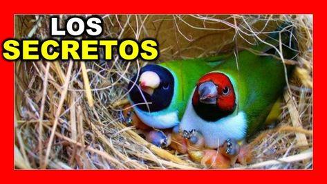 410 Ideas De Canarios Y Canaricultura Canarios Canario Ave Canarios Rojos