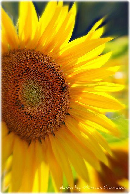 Un Sole Un Girasole By Massimo Carradori Via Flickr
