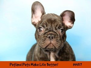 Dogs Puppies For Sale Petland Chicago Ridge Illinois Pet Store Puppies For Sale Puppy Adoption Puppies