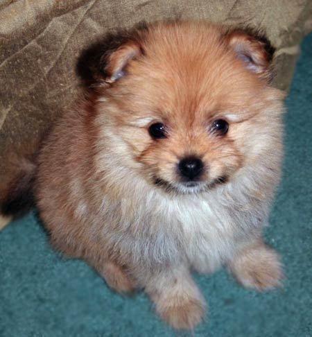 Yorkie Pomeranian Mix Zoe The Yorkiepomeranian Mix Puppies