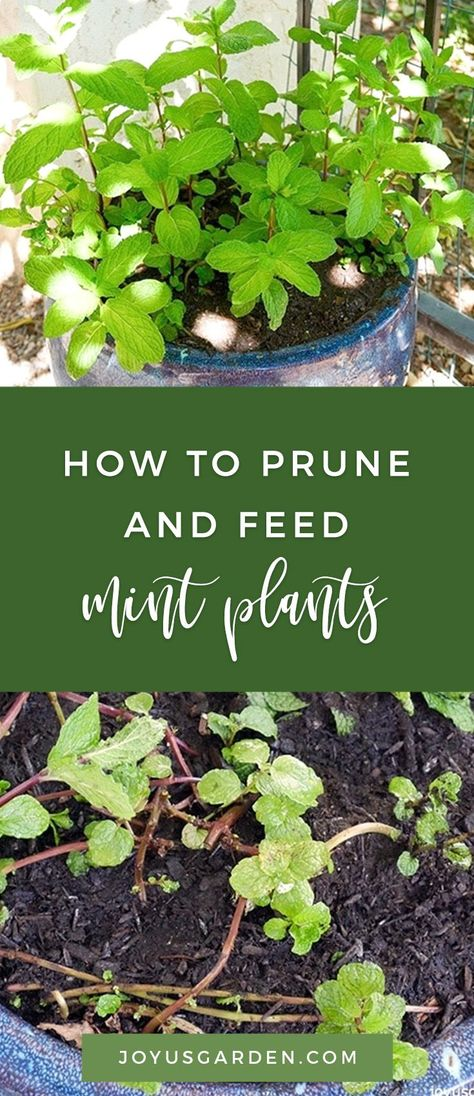 Mint is great to grow in a container. Find out how to prune  feed mint in pots to promote healthy growth, especially in temperate climates. #mint #mintplant #plant #planting #plantingtips #gardening #gardeningtips #garden #gardener #beginnergardener #beginnergardening #howtogarden