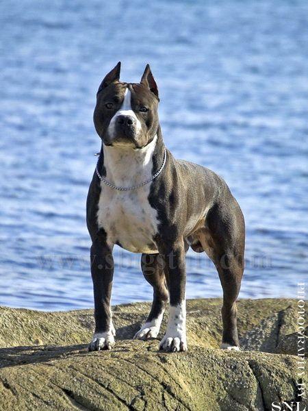 Amstaff Sbigstaff American Staffordshire Terrier Kennel John Bull Fekete Domino Staffordshire Terrier American Pitbull Terrier Stafford Terrier