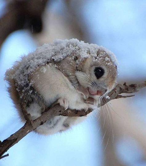 Le Polatouche de Sibérie, cet écureuil beaucoup trop mignon