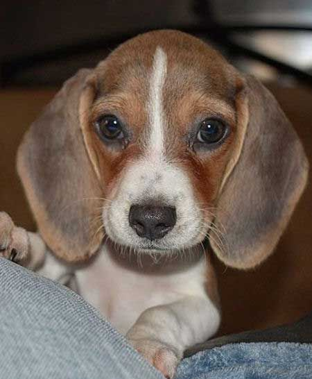Fall In Love With The Baby Beagle Beagle Puppy Pictures Facts