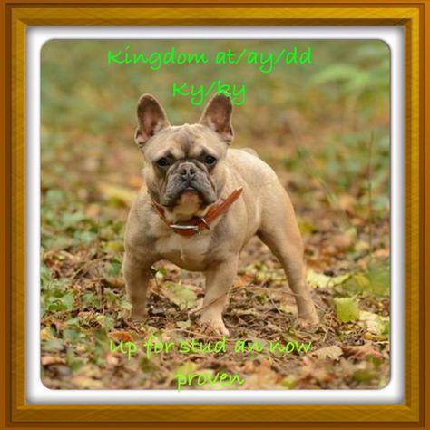 Kingdom At Ay Dd For Sale French Bulldog Animals French