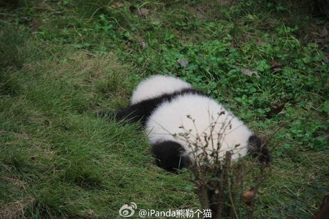 Pandas NEED our LOVE haveueverlovedawoman: I'm only sleeping? Baby Animals Super Cute, Cute Funny Animals, Funny Cute, Beautiful Creatures, Animals Beautiful, Niedlicher Panda, Baby Panda Bears, Baby Pandas, Cute Bears