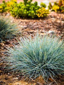 Texas Red Yucca Blue Fescue Fescue Grass Ornamental Grasses