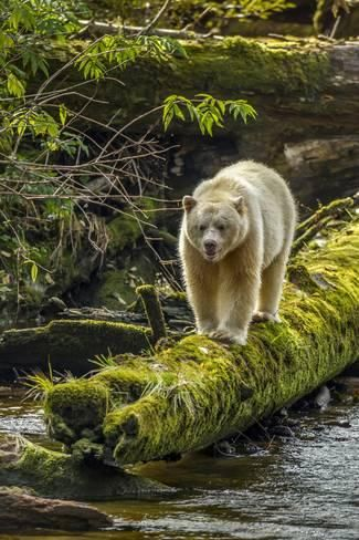 Photographic Print: Canada, British Columbia, Inside Passage. White Spirit Bear Hunts for Fish on Riordan Creek by Jaynes Gallery : 24x16in
